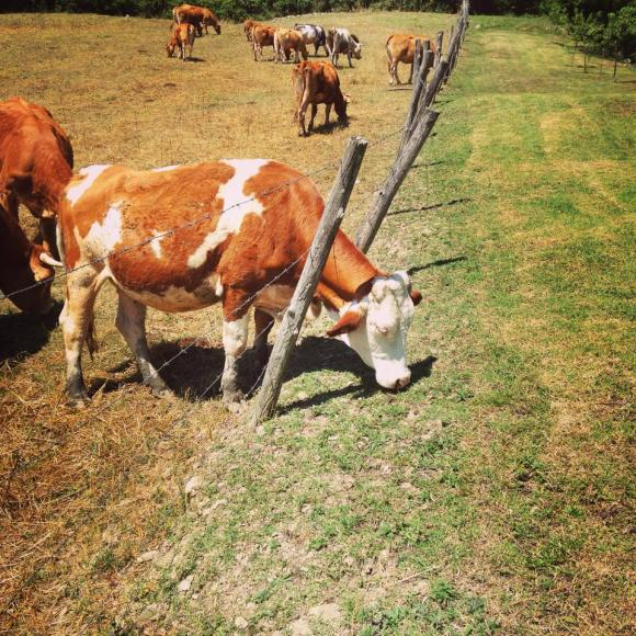 Tuscan cows